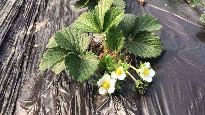 金雞湖草莓花開.jpg