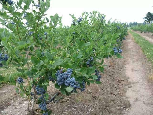 藍莓.jpg