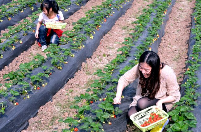 草莓.jpg