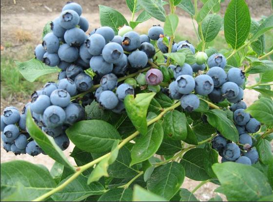 藍莓1.png